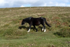 Pony on Yar Tor
